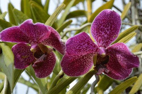 magnifiques-orchidees fare ara